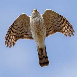 Hovering Hawks
